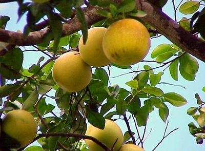 HOY / Por intentar hurtar pomelos, seguirá en Tacumbú: justicia alega peligro de fuga