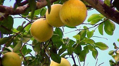 Por intentar hurtar pomelos, seguirá en Tacumbú: justicia alega peligro de fuga
