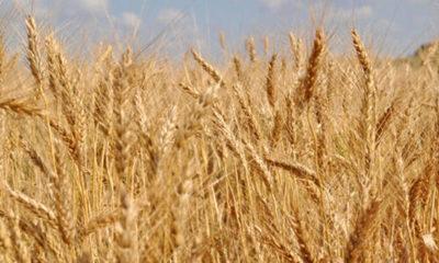 » Enfermedades de trigo
