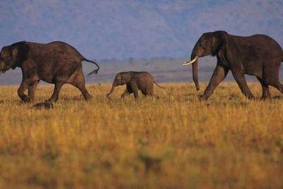 La muerte repentina de elefantes en África fue causada por un nuevo virus letal