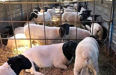Venta de ovejas Dorper al competitivo mercado argentino instala orgullo en la ganadería paraguaya