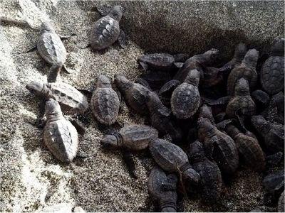 Nacen 105 tortugas bobas en el parque Tayrona