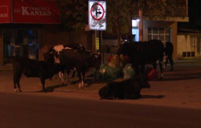 Vacas sueltas sobre la Transchaco, ante la atenta mirada de agentes policiales