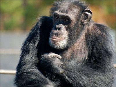 Lamentan destrucción del hábitat en Día Mundial del Chimpancé