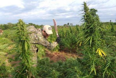 Senad destruye 12,6 toneladas de marihuana en estancia de Alto Paraná