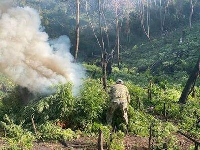 Senad destruye seis hectáreas de marihuana en Amambay