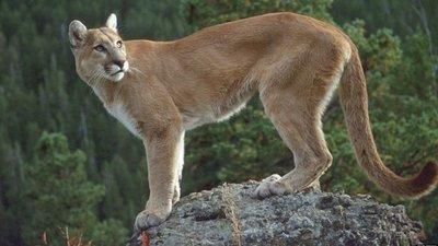 Un puma adulto que moraba como mascota en vivienda, devuelto a reserva