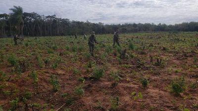 Destruyen 6 hectáreas de marihuana en el distrito de Ypejhú